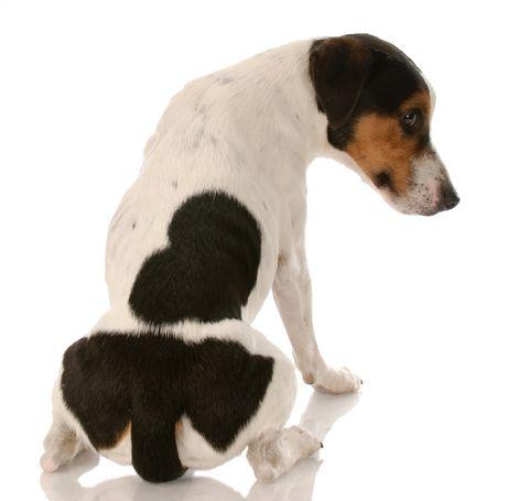 Anaalklierproblemen bij de hond
