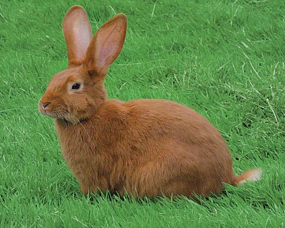 Nieuw vaccin tegen VHD bij konijnen beschikbaar.